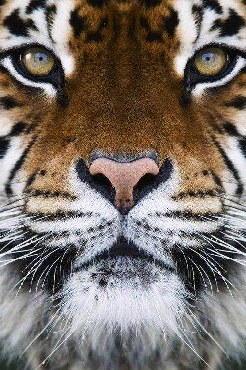 Tiger - Fierce Dignity