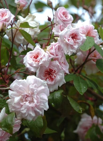 Rosa Cecile Brunner Blooming Season Fall Summer Zones Zone 5 10 Light Requirement