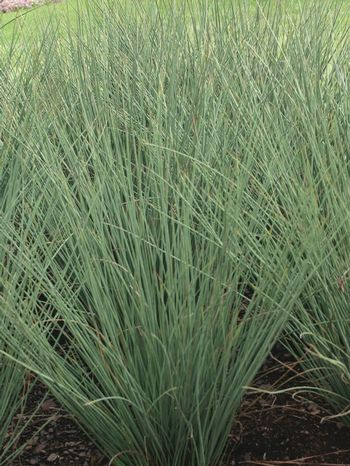 91 best ornamental grasses images on pinterest garden for Modern ornamental grasses