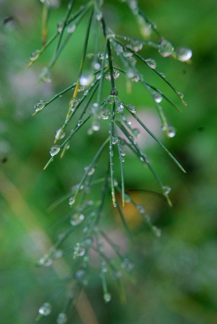 Dewdrop fern