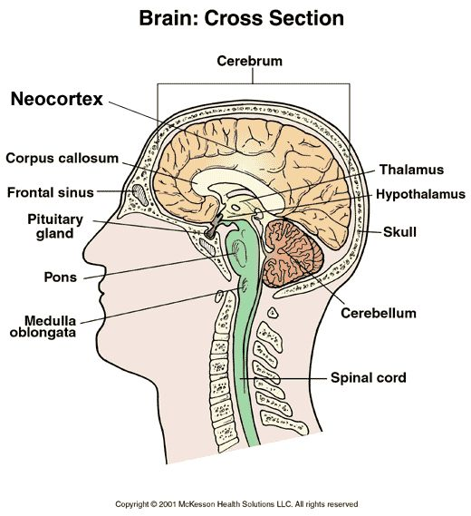 where is the neocortex located in the brain - Google Search