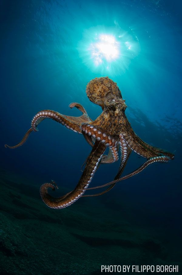 "By FILIPPO BORGHI Giannutri Island, Tuscan Archipelago, Italy ""Curiosity can lead an octopus to interact with the camera instead of fleeing. This Octopus vulgaris approached me and began to touch me..."
