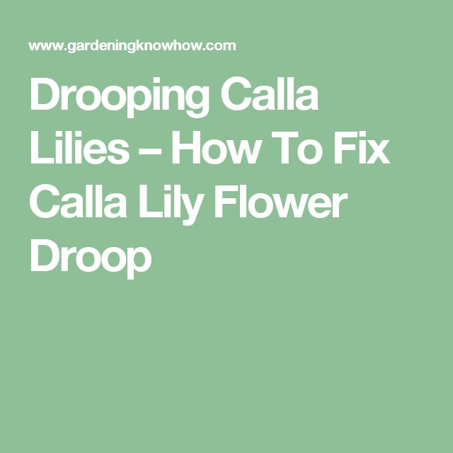 Drooping Calla Lilies – How To Fix Calla Lily Flower Droop