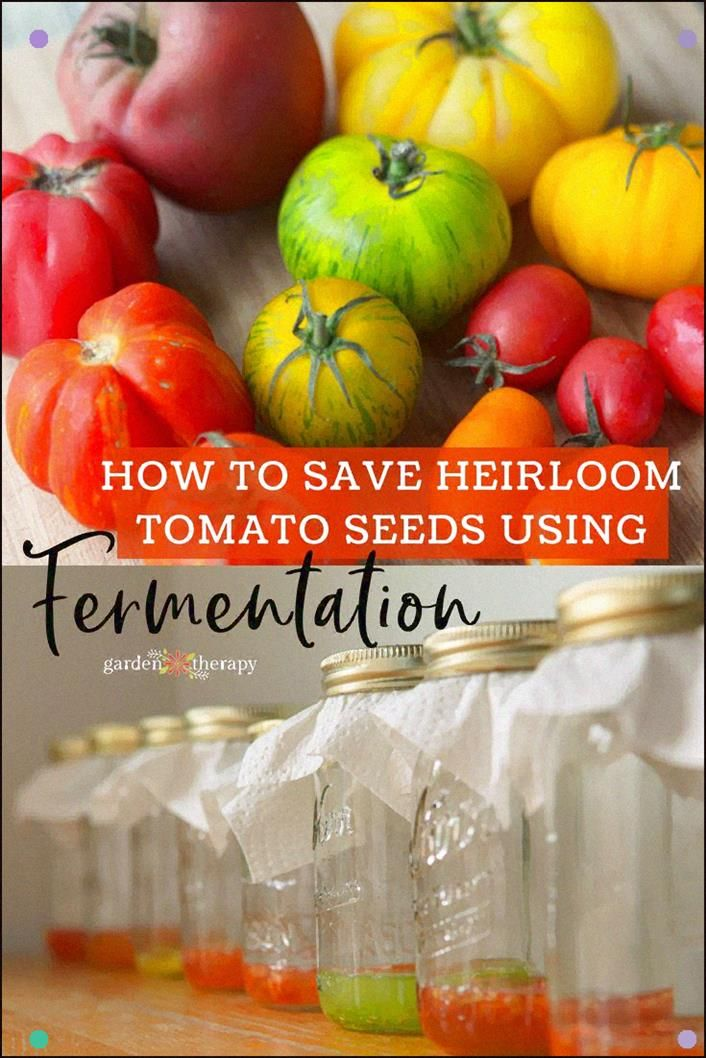 Saving Heirloom Tomato Seeds Through Fermentation The Membrane Around The Seeds Prevents Germination A Heirloom Tomato Seeds Tomato Seeds Saving Tomato Seeds