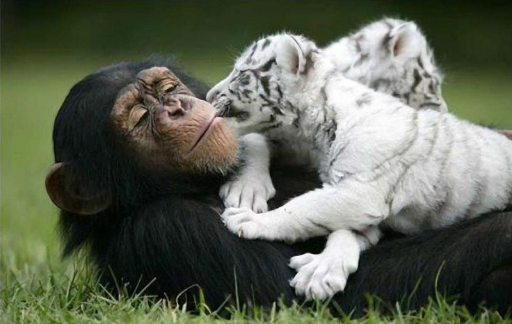 Lots of Love!White Tigers, Animal Friendship, Sweets, Monkeys, Wildlife Photography, Animal Photography, Baby Animal, Tigers Cubs, Baby Tigers