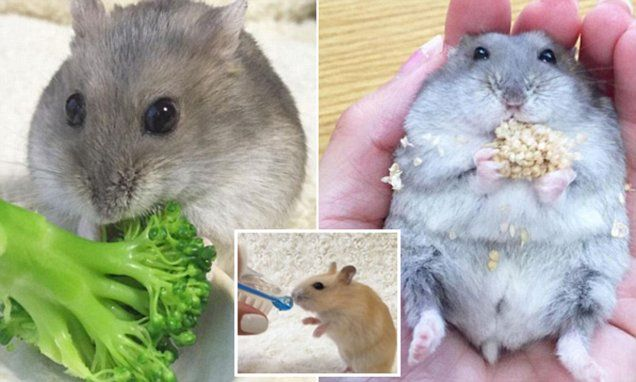 Japanese hamsters Moco and Latte win thousands Instagram fans with adorable videos