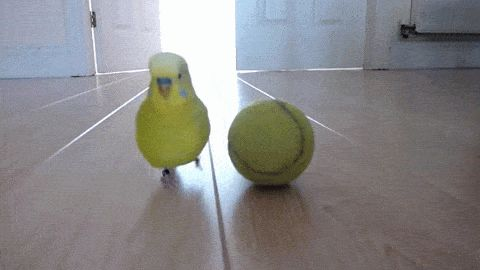 Just a bird playing with tennis ball