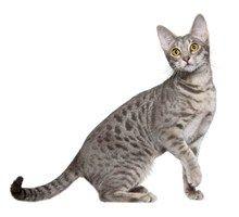 Ocicat Cat Breeds - Purina®