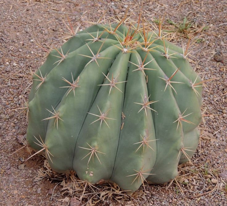 1000 images about cacti from my gardens on pinterest yellow country and red. Black Bedroom Furniture Sets. Home Design Ideas