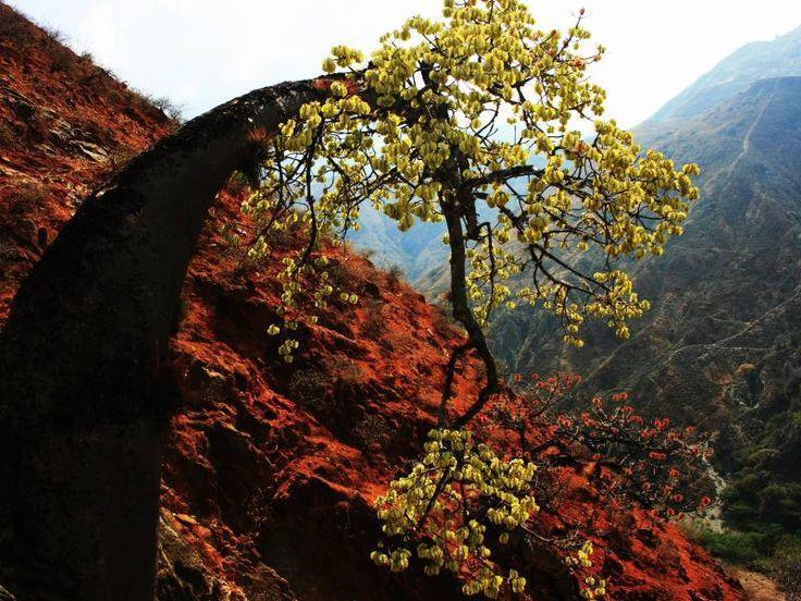 Ceiba Barrigona (Cavanillesia Chicamochae), an endemic tree from the Chicamocha Canyon, Santander, Colombia