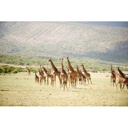 Masai giraffes (Giraffa camelopardalis tippelskirchi) in a forest Lake Manyara Tanzania Canvas Art - Panoramic Images (36 x 24)