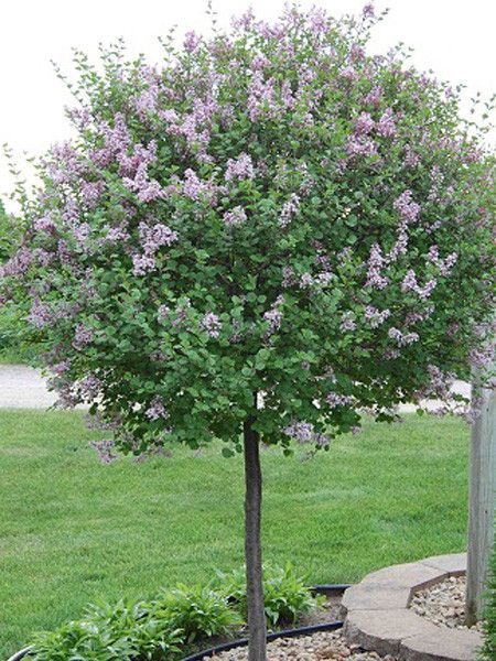 17 Best Ideas About Dwarf Lilac Tree On Pinterest Dwarf