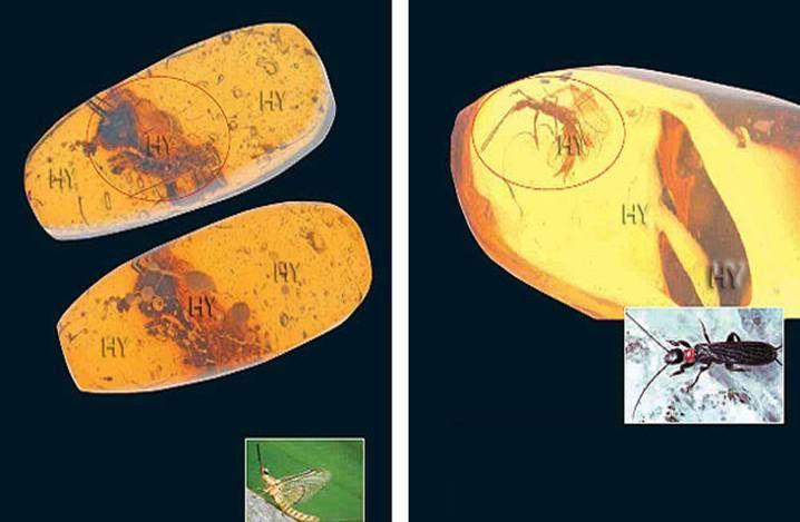 mbioptera (Ayakla Ağ Örenler) Cinsi Böcek http://dusuneninsanlaricin.com/evrimi-yikan-33-amber-fosili/