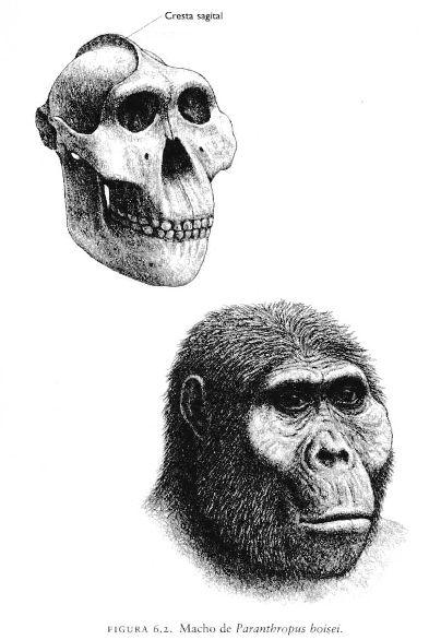Paranthropus boisei;Es el claro descendiente del Paranthropus aethiopicus. Convivió con al menos tres de las primeras especies Homo: habilis, ergaster y rudolfensis.