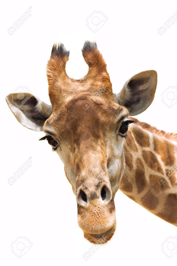 17 Best images about Giraffes on Pinterest | Head and neck ...