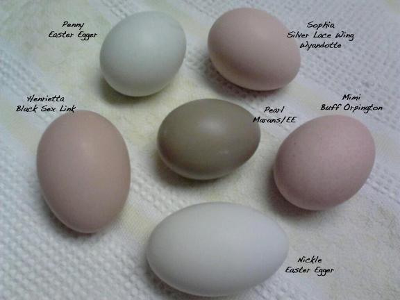 to buy olive color eggs - Google Search | chickens ~ egg ...