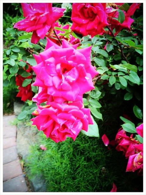 Beautiful Knock Out rose! One of my favorite season long bloomers - Kris S.