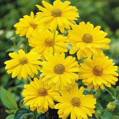 Golden Sundrops are one of the grandest subjects you could choose to plant in your perennial garden. They'll bloom and bloom to your heart's content with dozens of 2-3 inch blooms in any reasonably g