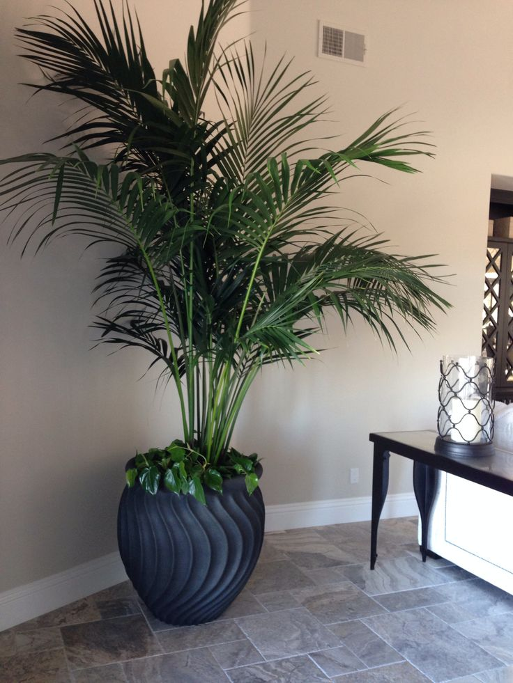 25 best ideas about kentia palm on pinterest green leaves plant leaves and green plants. Black Bedroom Furniture Sets. Home Design Ideas