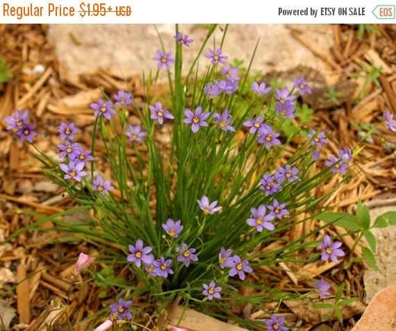 PLEASE USE DROPDOWN BOX TO ORDER Blue-Eyed Grass Seeds Blue-eyed Grass (Sisyrinchium bellum) - These Blue Eyed grass seeds are sure to thrill you! As you might expect from the common name, Blue-eyed Grass, this little perennial has grass-like foliage with a blue-purple flower. It is categorized as an ornamental grass, however, it is in the Iris family. Usually this six petaled flower will begin to flower in April and doesnt stop blooming until the end of July or August. Sow Sisyrinchium…