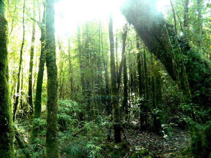 Bosque nativo, Región de Los Lagos, Patagonia, Chile