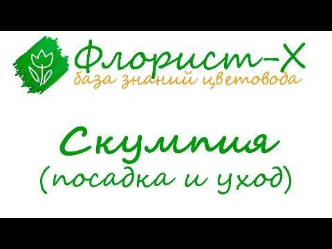 Кустарник скумпия – посадка и уход, растение скумпия кожевенная – выращивание в Подмосковье - YouTube