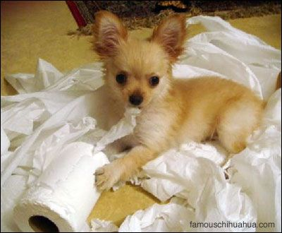 -mimi the mischievous chihuahua   it's OK I'm cute !!