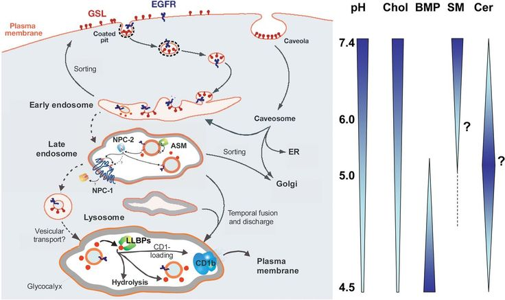 endocytosis and lysosomal digestion of sphingolipids