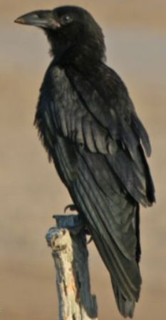 ravens birds - Google Search