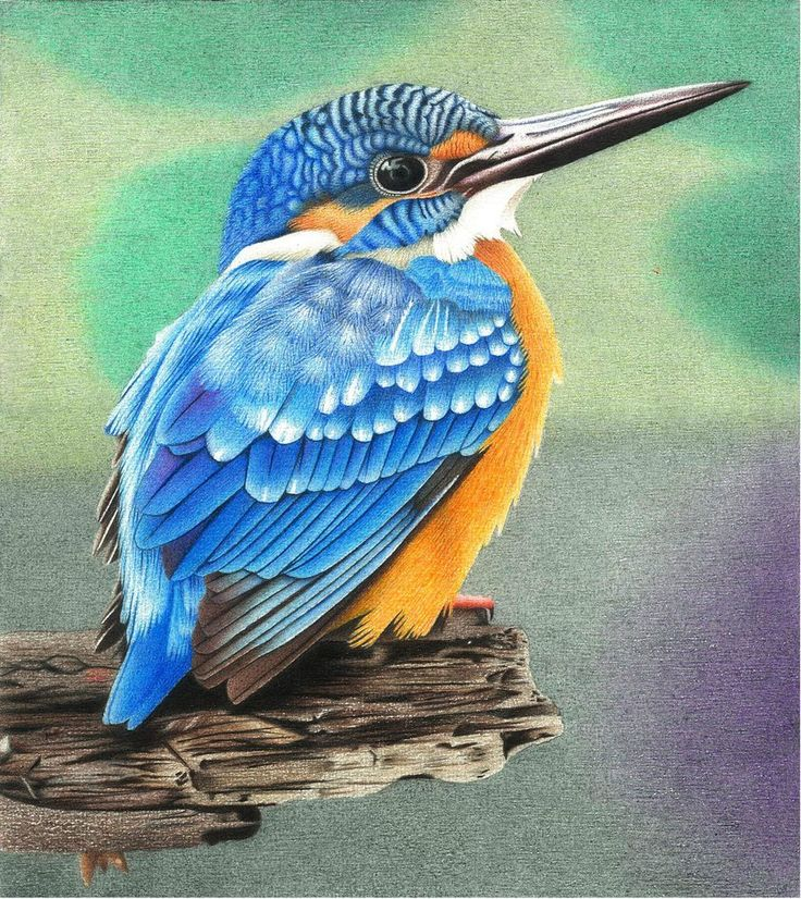 Kingfisher colored pencil drawing by AlienOffspring on DeviantArt