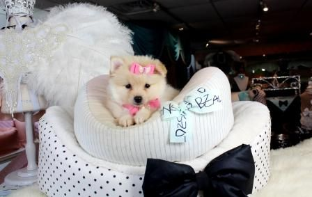 Best 25 Puppies For Sale Ideas On Pinterest Pups For