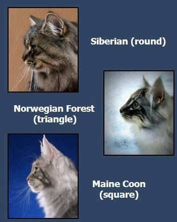 cats, siberian, and norwegian forest cat image                                                                                                                                                                                 More