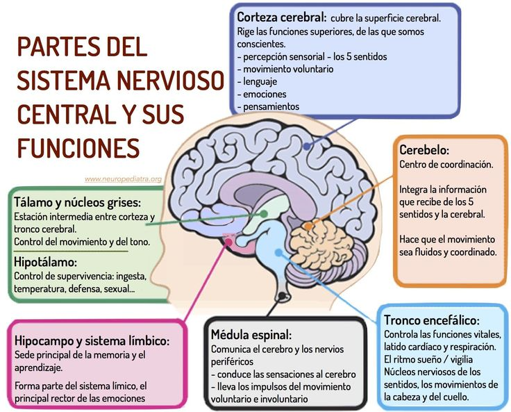 Sistema Nervioso Central · estructuras y funciones (neuropediatra.org - Dra. Mª José Mas)