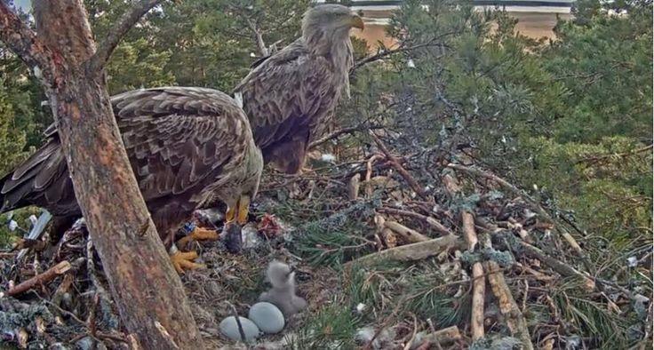 Orli krmí mladé, Eagles feeding babibes