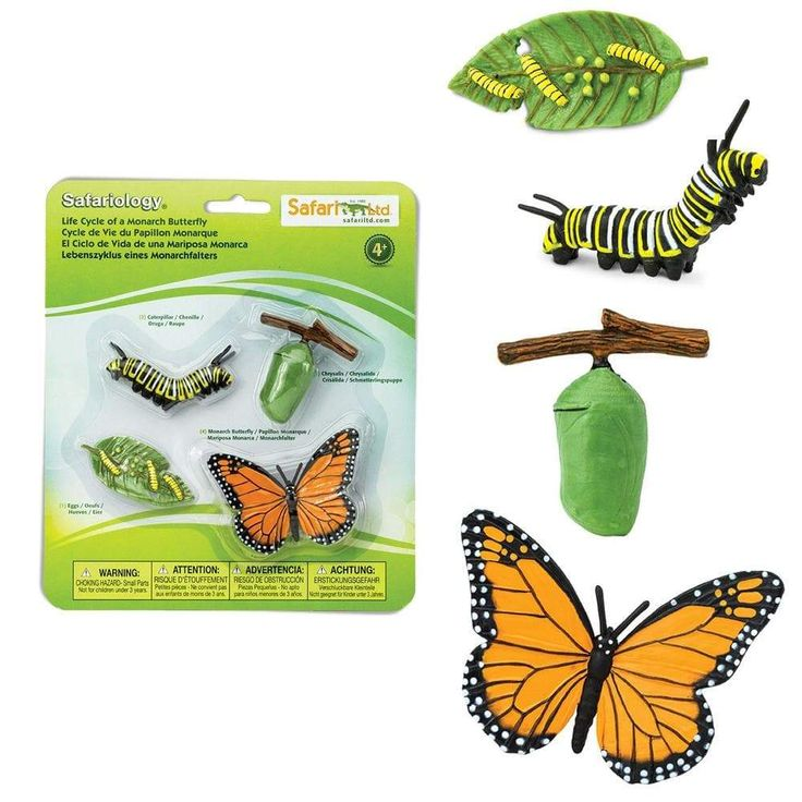 Life Cycle of a Monarch Butterfly in 2020 Monarch