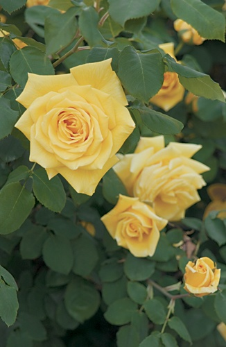 Well drained soil is critical to successful rose growing. If you have heavy clay soil, which does not drain well, dig it up and add organic materials such as compost, peat moss or nitrogen fortified wood products before planting your rose bushes.Prune your roses each year to stimulate new growth and keep them healthy. The object of pruning is to remove all dead canes and open up the center for better air circulation. When the plants are dormant, cut back the canes by one third to one half.