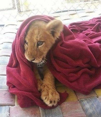 lion cub playin..