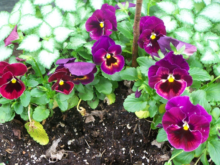 These pansies were planted in earlly April Zone 5.  The Lamium (Perennial) was left to winter in the cast Iron planter and reappears happily as soon as it is warm enough.