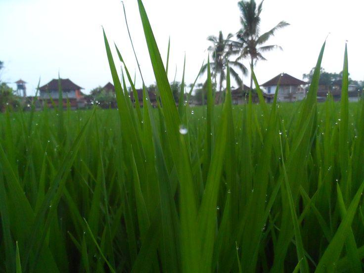 Bali rice fields, Ubud