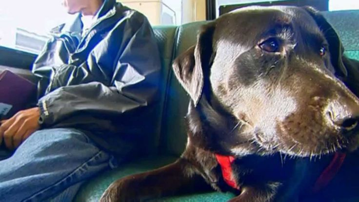 """Dog Rides Seattle Bus By Herself To Dog Park... Commuters in Belltown report seeing a Black Labrador riding the bus alone in recent weeks. The 2-year old has been spotted roaming the aisles, hopping onto seats next to strangers, and even doing her part to clean the bus -- by licking her surroundings.   """"All the bus drivers know her. She sits here just like a person does,"""" said commuter Tiona Rainwater, as she rode the bus through downtown Monday."""