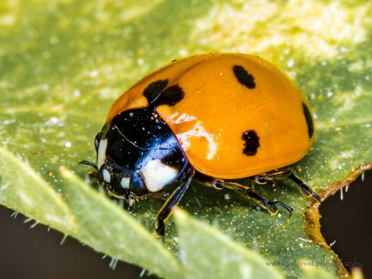 Ladybug | by Hedonist.Photography