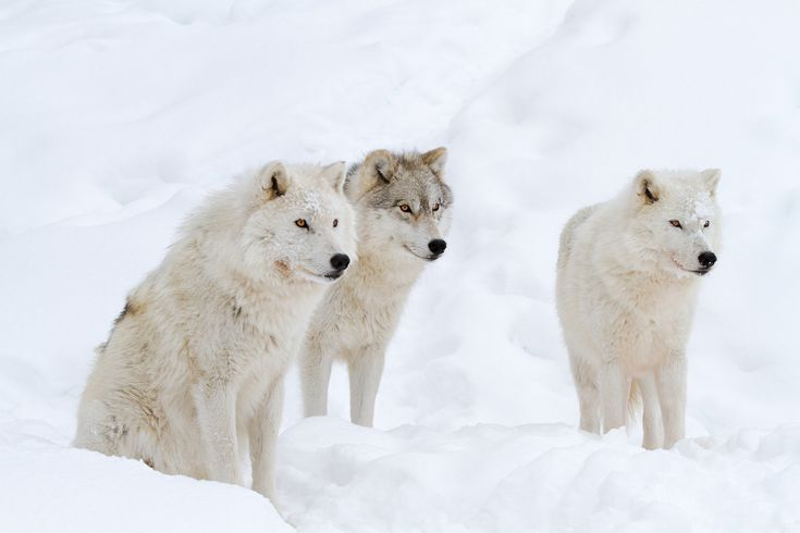 Do You Know These 12 Animals of North America?: The Arctic Wolf