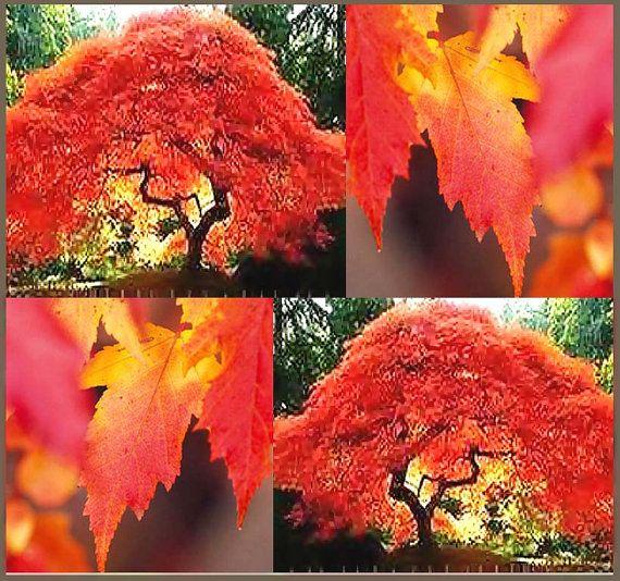 Amur Flame Maple Tree Seed - ACer tataricum ginnala - Flame MAPLE TREE Seeds - Fragrant Flowers - Vivid Red Fall Colors - Z. 2 - 7