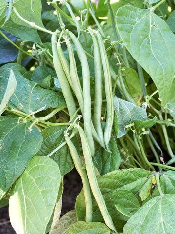 Jade Bush Beans Growing Green Beans Easy Vegetables To 400 x 300