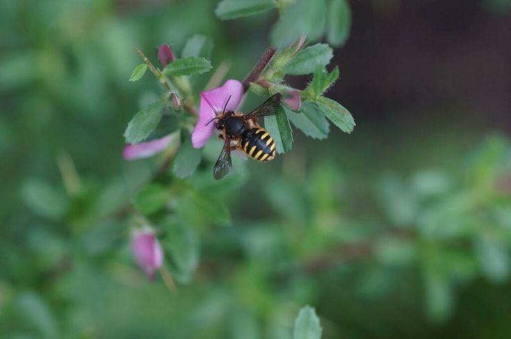 Beautiful wool carder bee visiting Spiny restharrow flowers