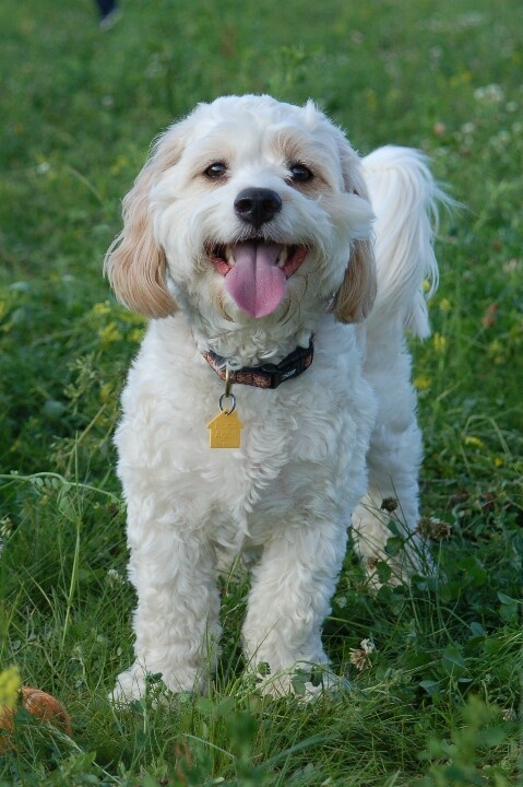 Lou -cutest cavachon ever! VERY independent. But also a sweetheart!! – Hunde