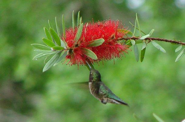 Bottle Brush: Buchanan Quit, Bottlebrush, Yard, Flowers Flowing, Lauri Buchanan, Bottle Brushes, Hummingbirds Feeding, Hummingbirds Delicate, Hummingbirds Floating