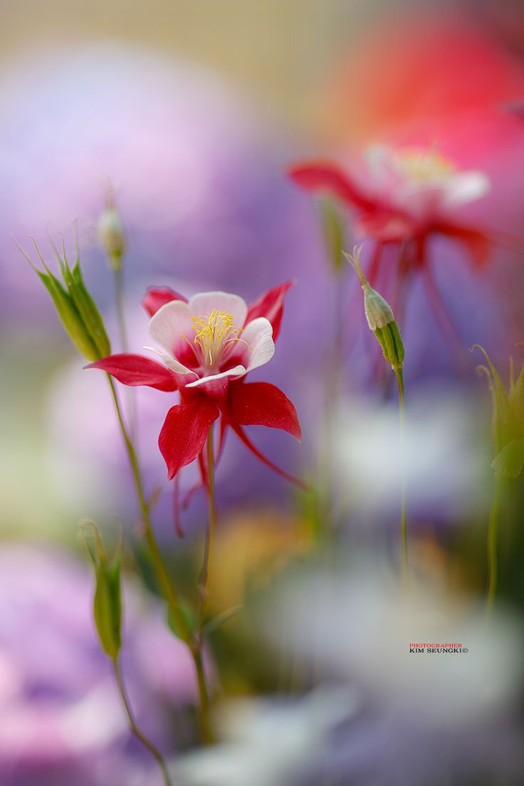 173 best columbine images on pinterest columbine flower flowers columbine by seung ki kim dhlflorist Image collections