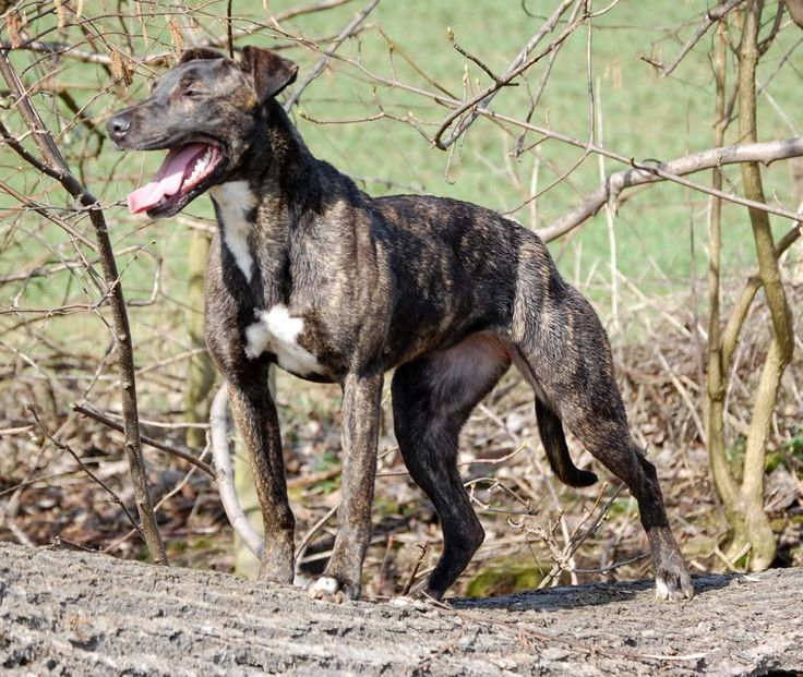 Bull Lurcher | Dogs | Pinterest | Forum, Pictures and ...