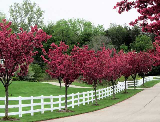 Flowering trees & white fence